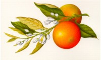 http://adelerossetti.com/files/gimgs/th-7_Illustration for A Flora of Shakespeare _Seville Orange_9_x14_jpg_v2.jpg